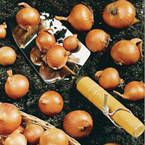 A red variety producing large, tasty shallots with a distinctive spicy taste. The skins are firm and bulbs solid, and they will store for months! Plan