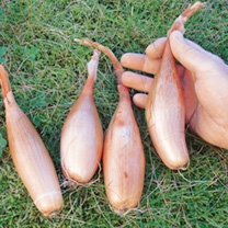 Delicious, large, elongated shallot onion hybrid type bulbs that are brown-skinned with a pinkish tinge. Best grown in a sandy, well drained soil. Pop