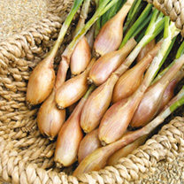 Shallot French Bulbs - Pesandor