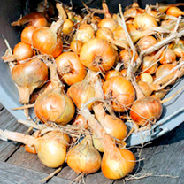 This superb variety will consistently produce heavy crops of good flavoured shallots that keep well for several months. Plant from February onwards. A