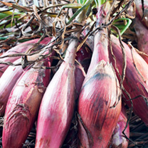 Shallot Banana Plants - Simiane