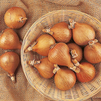 Shallot Bulbs - Hative de Niort