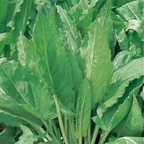 Herb Seed - Sorrel