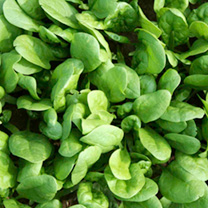 A fast-growing true type spinach which has attractive round, dark green foliage which is delicious as baby leaves. Ideal for spring and autumn growing