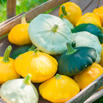 Origin: Central America. Tender, nutty-flavoured summer squash in three easy to grow prolific-cropping varieties. Most tender when picked 6-8cm across