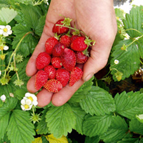 A first-class strawberry producing healthy foliage and masses of sweet-tasting fruit that are particularly large for an alpine type. Just add cream fo