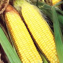 Sweet Corn Seeds - F1 Sundance