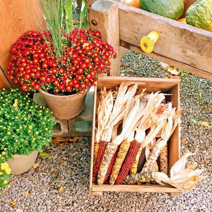 Popcorn Seeds - Fiesta