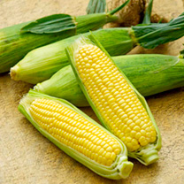 A vigorous-growing hybrid supersweet variety producing a good crop of fully packed, well-protected cobs up to 15cm (6) in length. Performed equally we