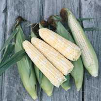 Sweet Corn Plants - Double Standard