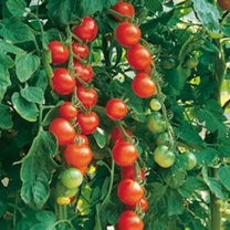 Grafted Tomato Plants Gardeners Delight