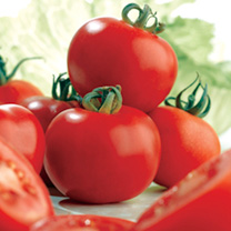 Ailsa Craig is a traditional favourite, producing medium-sized tomatoes of good flavour. Suitable for cultivation under glass or outdoors. (Cordon var