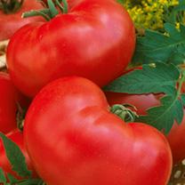 Tomato Faworyt Seeds