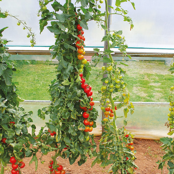 Tomato Grafted Plant Collection