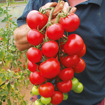 Tomato Grafted Plants - Elegance