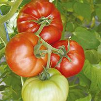 dobies tomato seeds