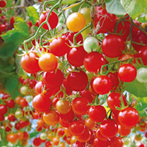 This amazing tomato is perfect for hanging baskets or patio containers. The cascading plants live up to their name, producing literally thousands of s