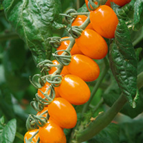 An exceptionally tasty and extremely attractive orange cocktail plum tomato. (Cordon variety one stem grown by pinching off side-shoots as they appear