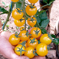 Tomato F1 Golden Pearl Seeds