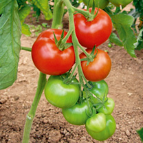 Tomato F1 Orkado Seeds