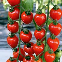 Tomato F1 Tomatoberry Garden Seeds
