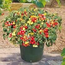 This vigorous, trailing British-bred tomato is ideal for hanging baskets and containers on the patio, production up to 4kg (9 lb) of delicious cherry-