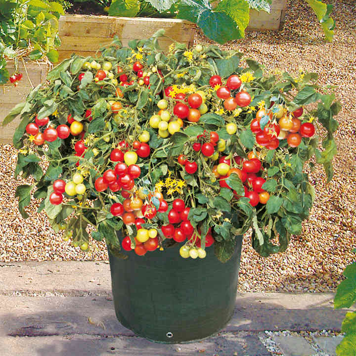 Tomato Plants - F1 Tumbler