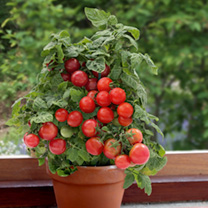 Tomato Plants - Sweet 'n' Neat Red