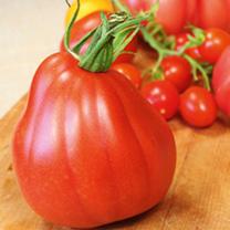 Tomato Plants - F1 Corazon