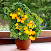 Tomato Plants - F1 Sweet 'n' Neat Yellow