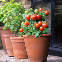 Ideal for growing on the kitchen windowsill (indoors or outside), this extremely compact tomato will provide a steady supply of sweet, cherry-sized re