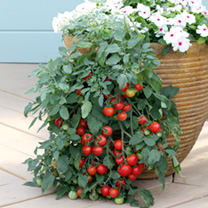 Tomato Seeds - Tumbling Tom Red & Yellow