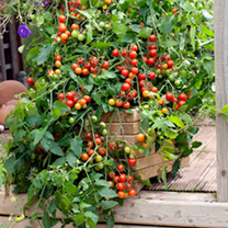 Grafted Tomato Plants - F1 Lizzano