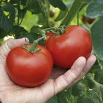 Tomato Plants - Growbag Collection