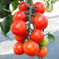 Tomato F1 Spencer Seed
