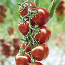 Tomato Grafted Plants - Florryno/Zebrino Twins