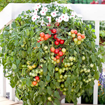 Ideal for patio containers or hanging baskets, this versatile and very productive plant produces a prolific crop of mouth-watering bright red fruits!