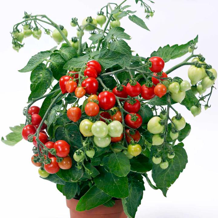 Tomato plants f1 heartbreaker vita