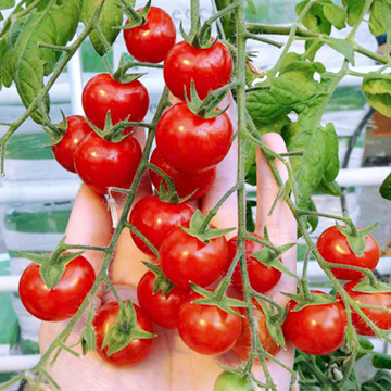 Tomato Grafted Plants - Juanita