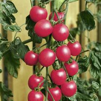 A heavy cropping baby plum tomato, providing good pickings of attractive and tasty fruit. For indoor or sheltered outdoor growing. Delicious in salads