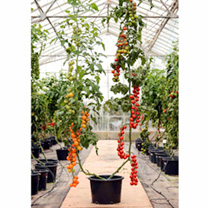 Grafted Tomato Plants - F1 Sweet Petite/F1 Orange Paruche Twins