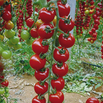 Grafted Tomato Plants - Sweet Petit