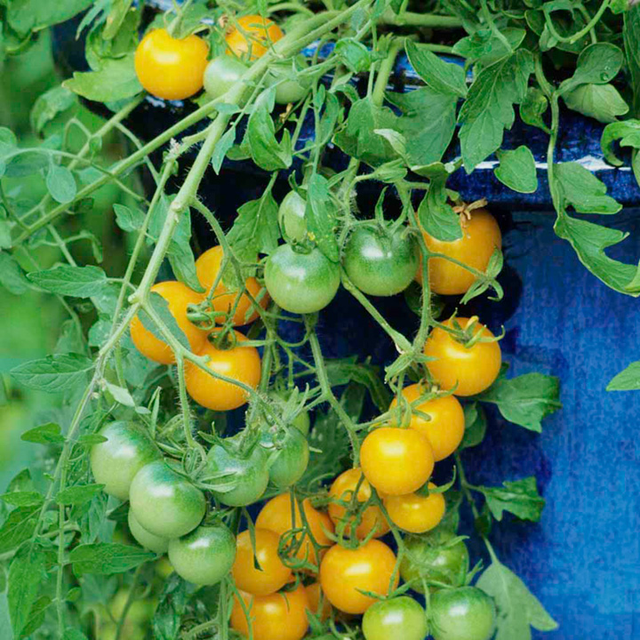 Tomato Seeds - Tumbling Tom Yellow