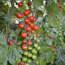 Grafted tomato Plants - F1 Sweet Petit