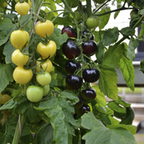 Grafted Tomato Plants - F1 Indigo Rose/White Cherry Twin