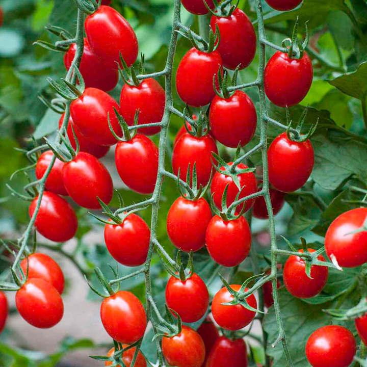 Grafted Tomato Plant - F1 Aviditas