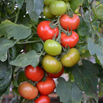 Tomato Plants - Crimson Crush