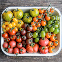 Tomato Plants Salad Collection 245061