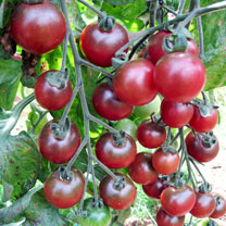Tomato Seeds - Twin Pack Rosella/Green Zebra