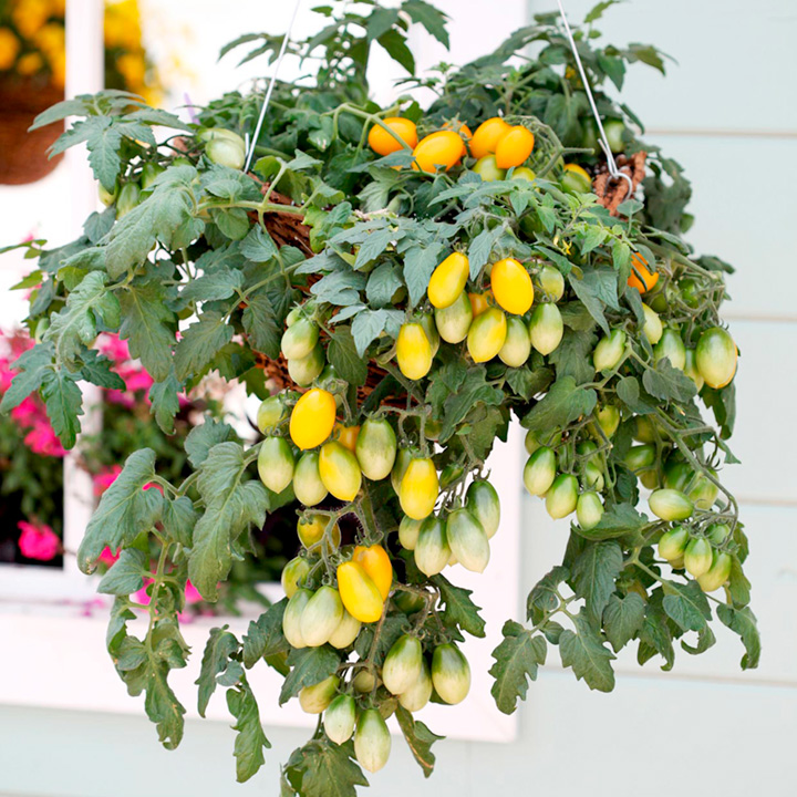 Tomato Seeds - F1 Peardrops